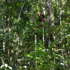Edwin the Orangutan