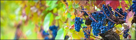 vineyard-grapes-ready-for-harvest-susan-schmitz