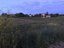 Vineyards at twilight