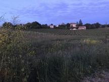 Vineyards at twilight